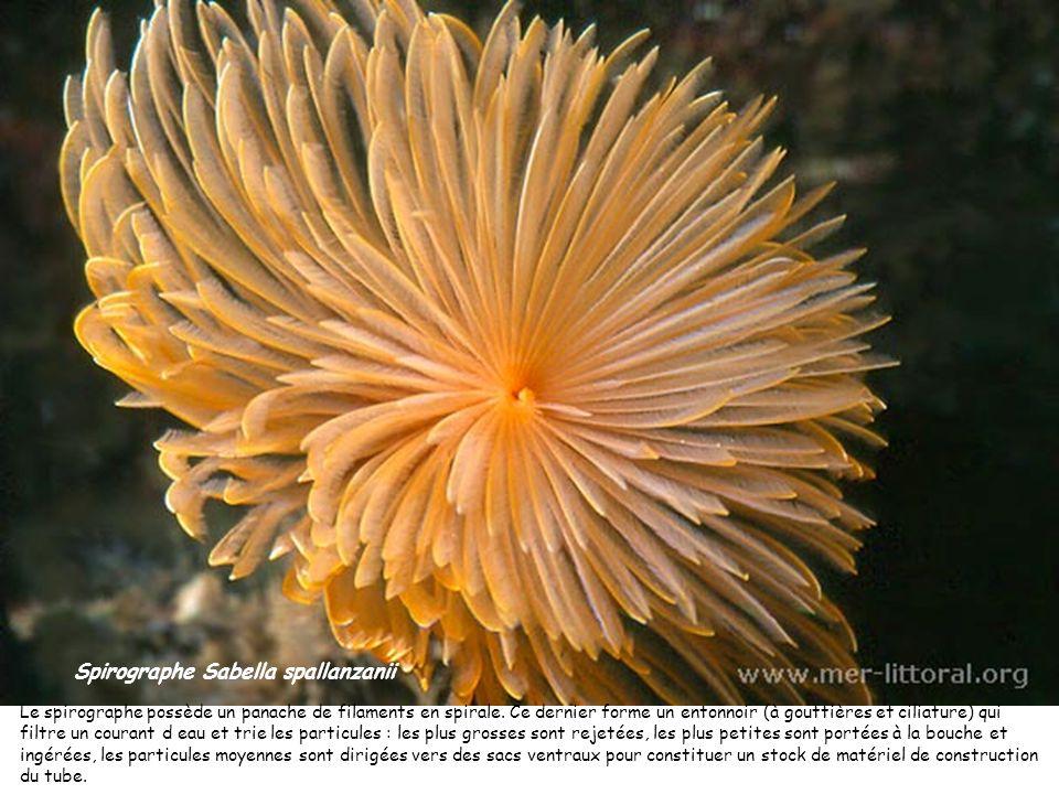 Spirographe Sabella spallanzanii