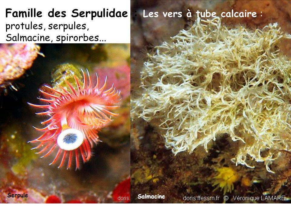 Salmacine Famille des Serpulidae : Les vers à tube calcaire : protules, serpules, Salmacine, spirorbes...