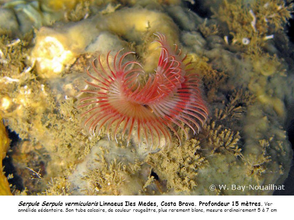 Serpule Serpula vermicularis Linnaeus Iles Medes, Costa Brava