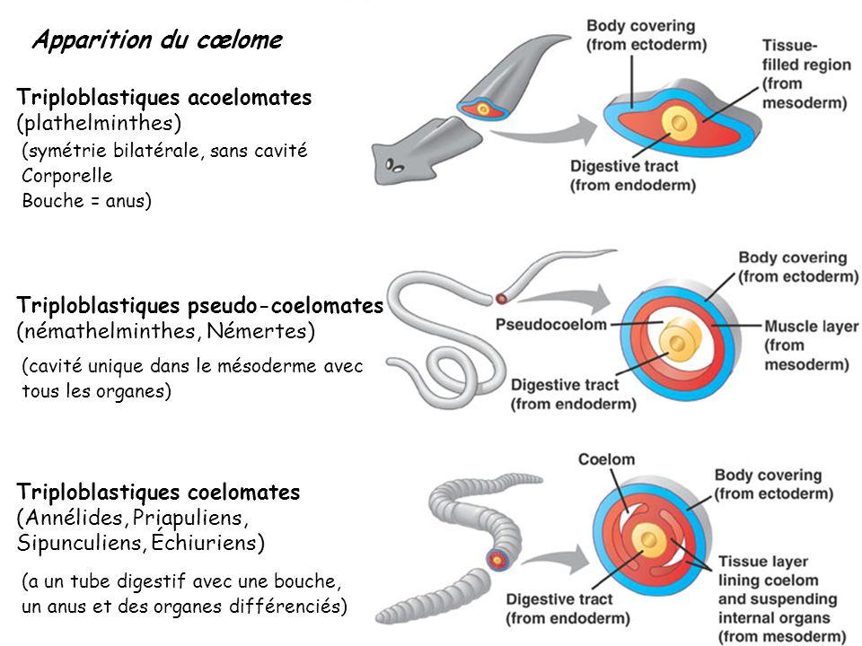 Apparition du cœlome Triploblastiques acoelomates (plathelminthes)