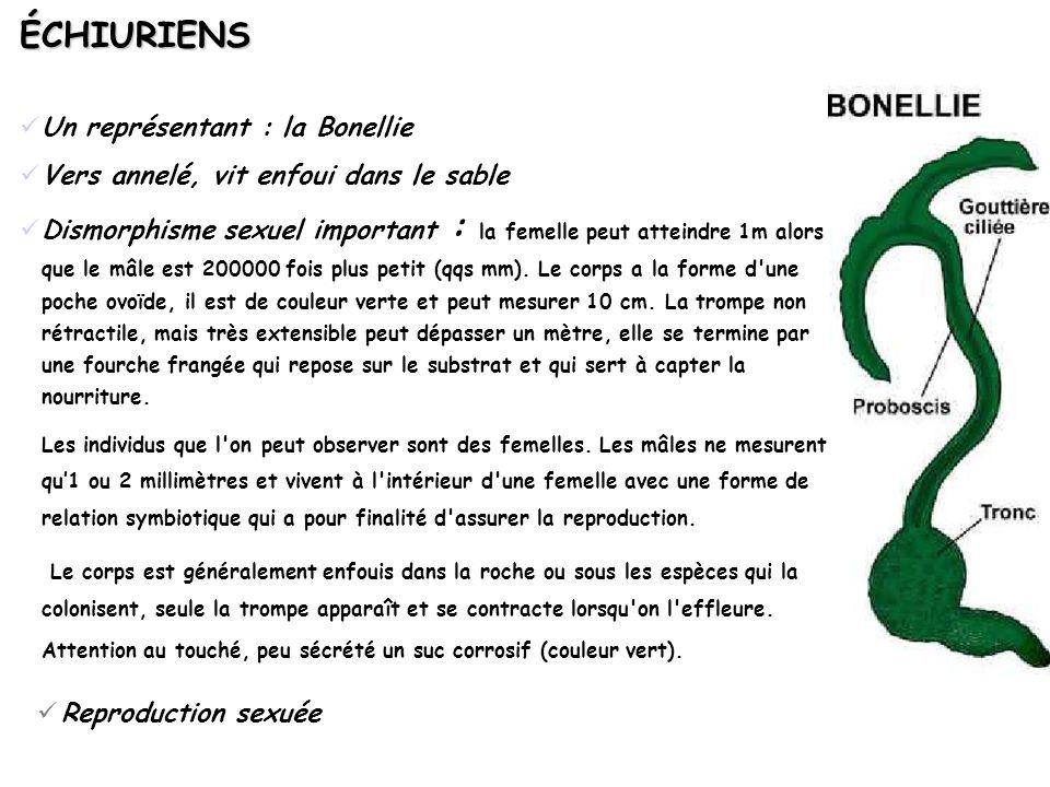 ÉCHIURIENS Un représentant : la Bonellie