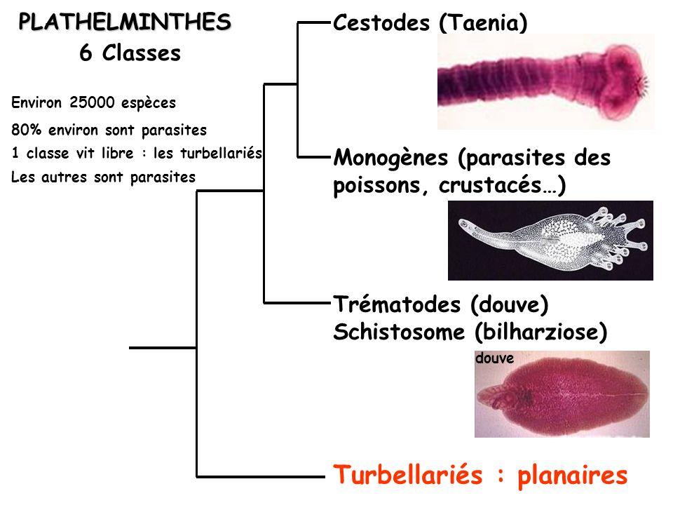 Turbellariés : planaires