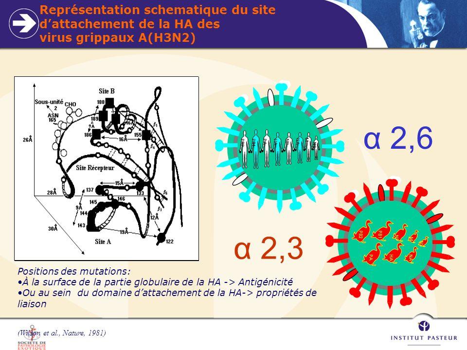 Représentation schematique du site d'attachement de la HA des virus grippaux A(H3N2)