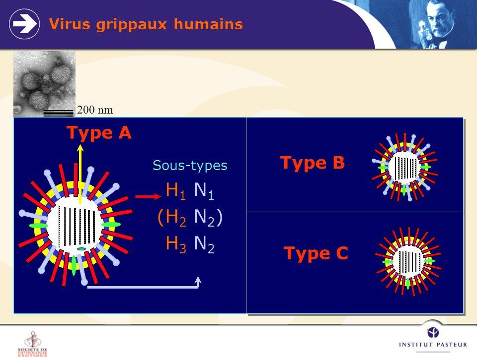Virus grippaux humains