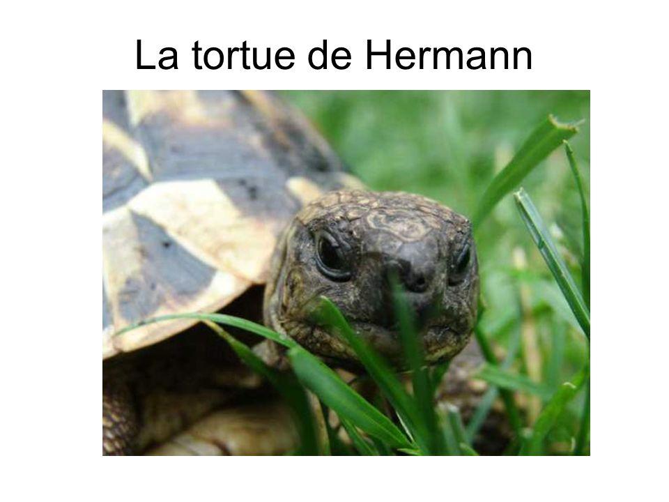 La tortue de Hermann