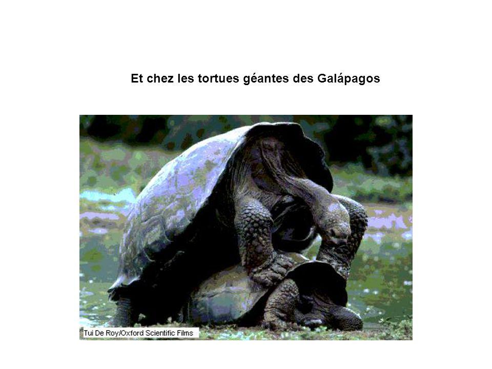 Et chez les tortues géantes des Galápagos