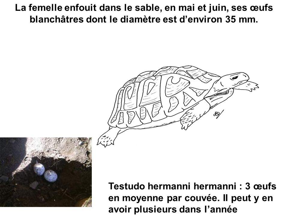La femelle enfouit dans le sable, en mai et juin, ses œufs blanchâtres dont le diamètre est d'environ 35 mm.