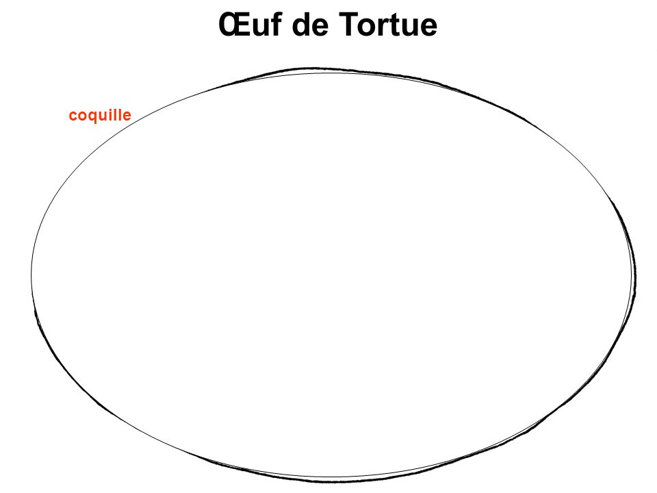 Œuf de Tortue coquille embryon Réserves nutritives