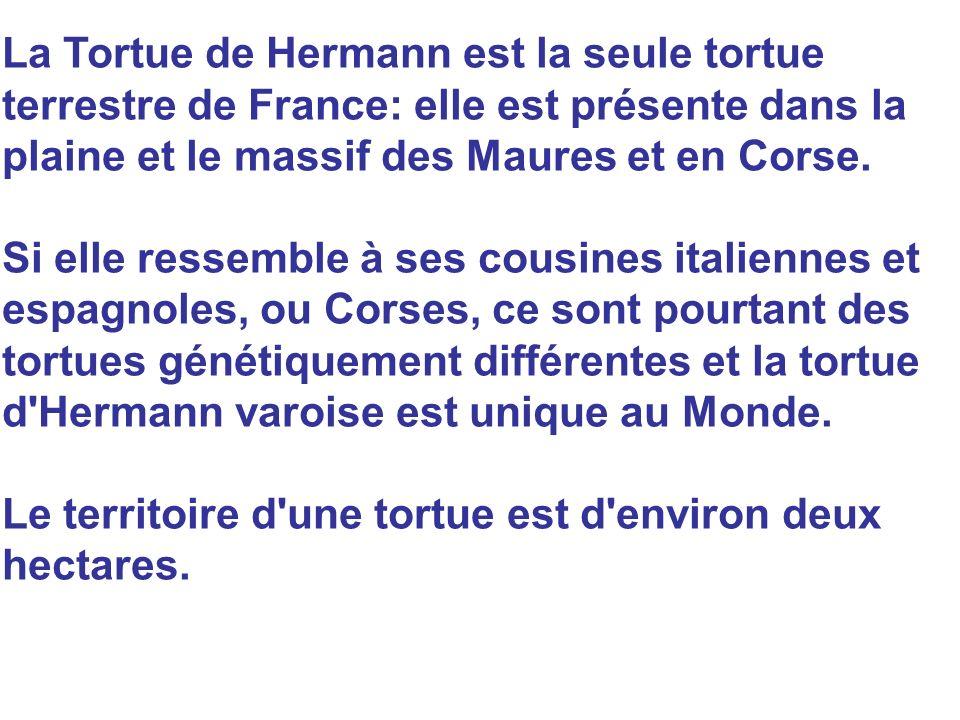 La Tortue de Hermann est la seule tortue terrestre de France: elle est présente dans la plaine et le massif des Maures et en Corse.