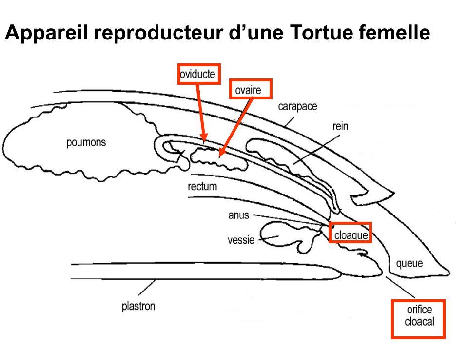 Appareil reproducteur d'une Tortue femelle