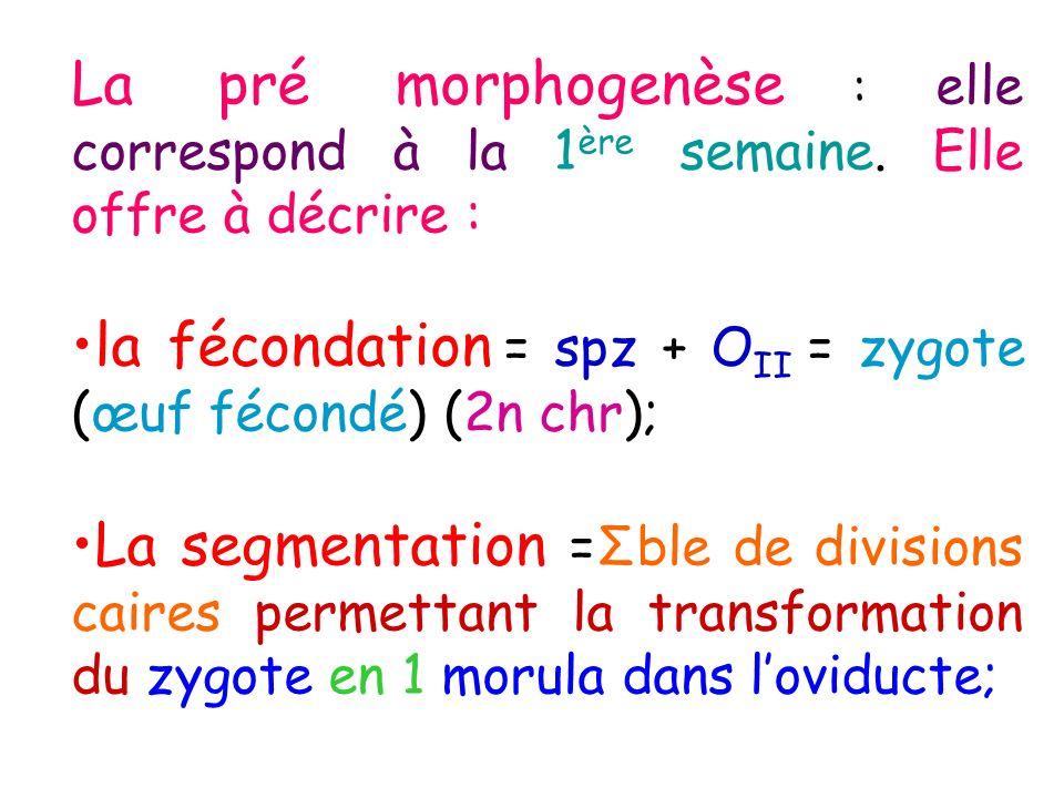La pré morphogenèse : elle correspond à la 1ère semaine
