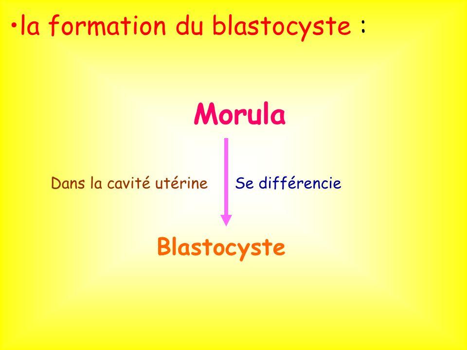 la formation du blastocyste :