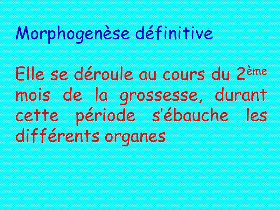 Morphogenèse définitive
