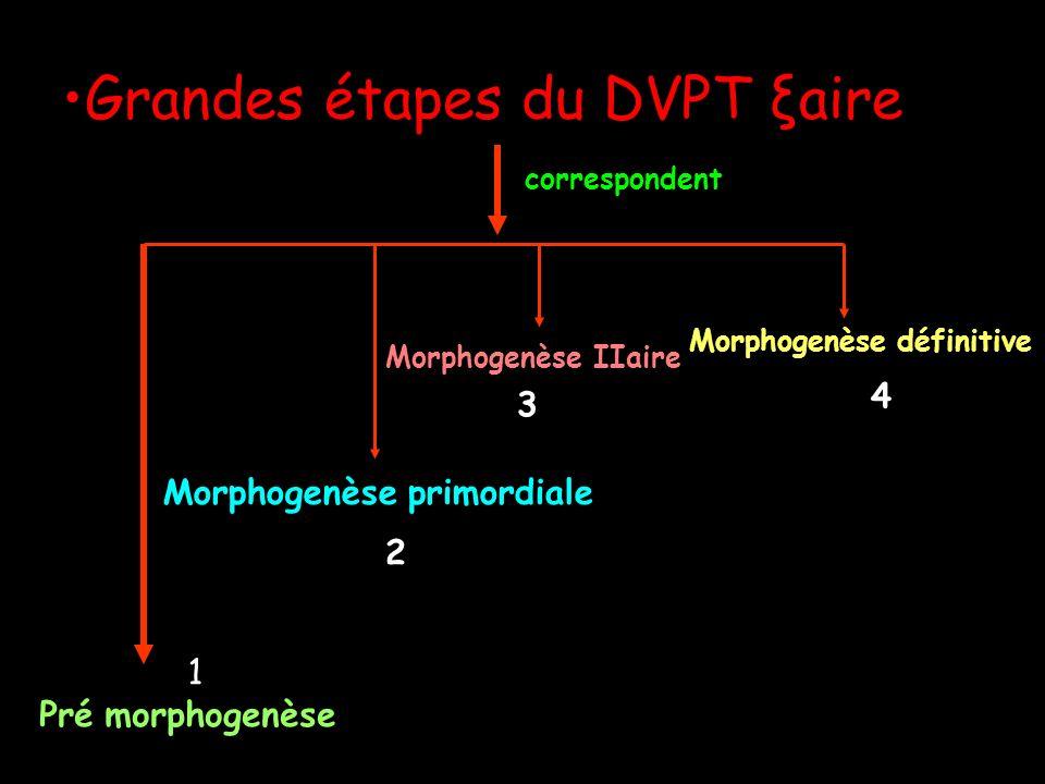 Grandes étapes du DVPT ξaire