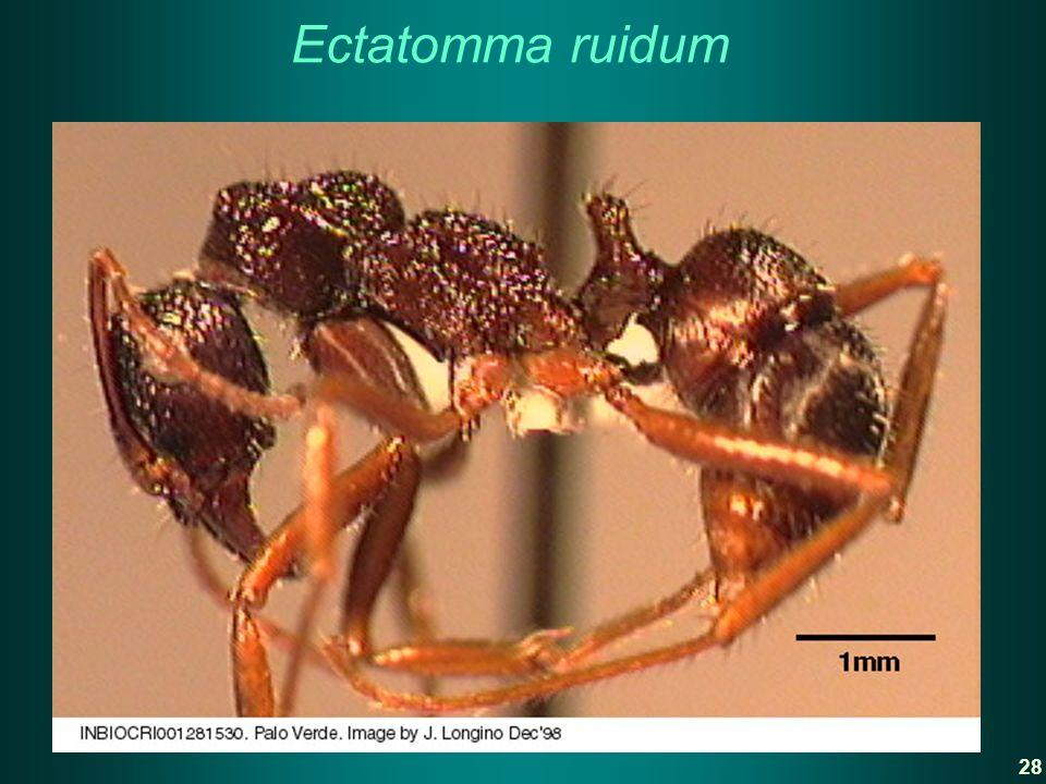 Ectatomma ruidum 28
