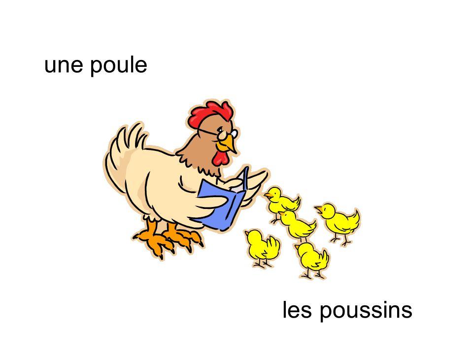 une poule les poussins