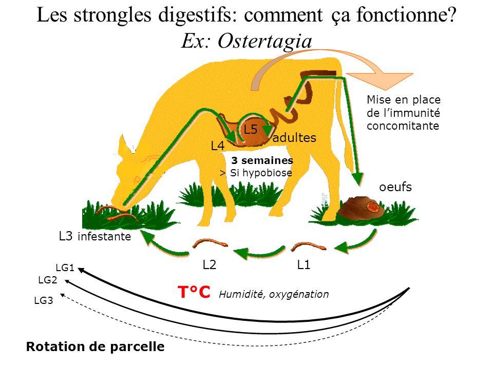 Les strongles digestifs: comment ça fonctionne Ex: Ostertagia