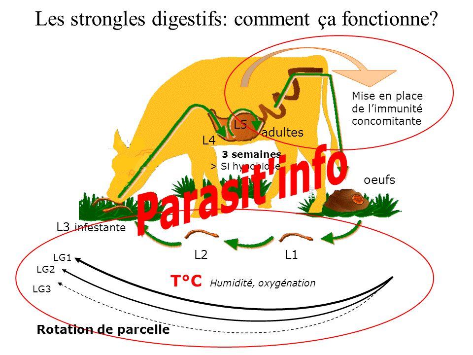 Les strongles digestifs: comment ça fonctionne