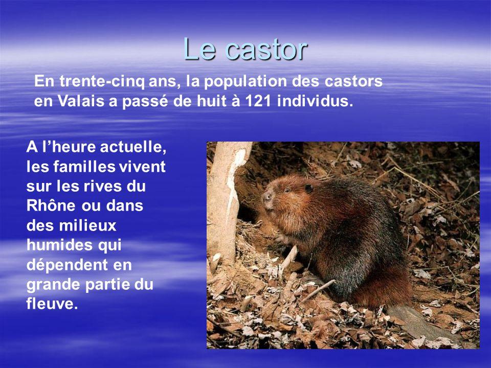 Le castor En trente-cinq ans, la population des castors en Valais a passé de huit à 121 individus.