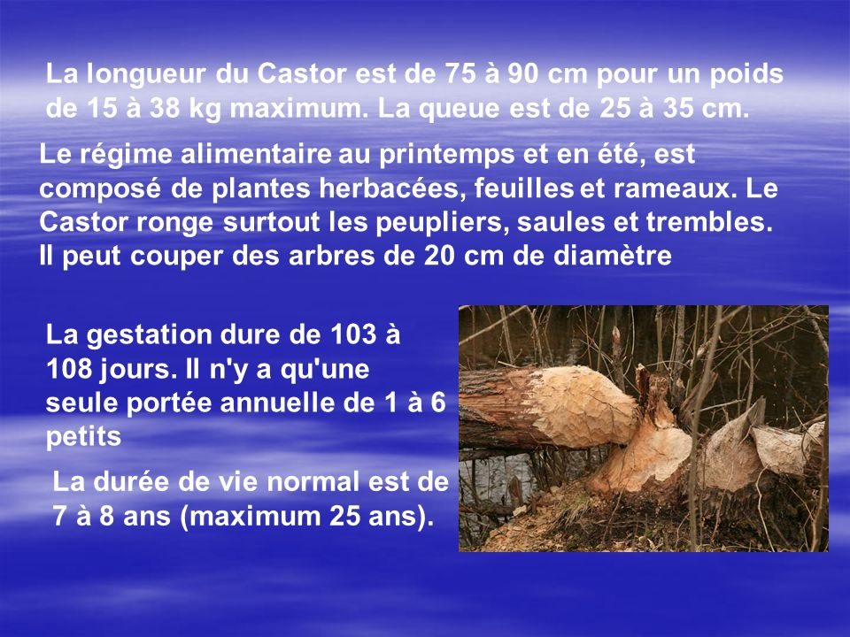 La longueur du Castor est de 75 à 90 cm pour un poids de 15 à 38 kg maximum. La queue est de 25 à 35 cm.