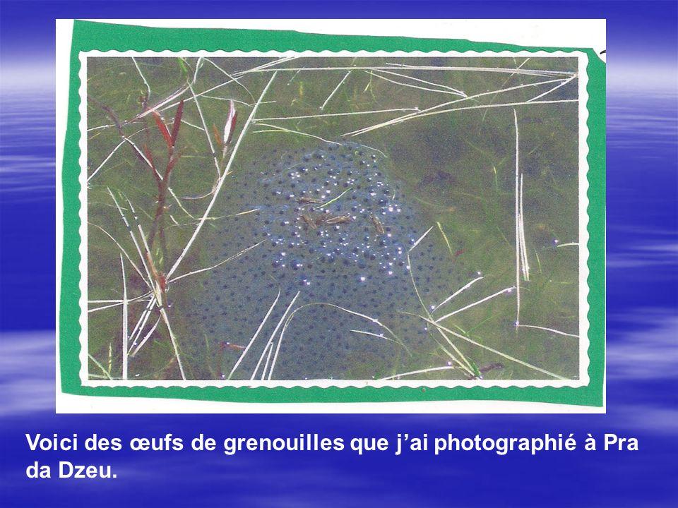Voici des œufs de grenouilles que j'ai photographié à Pra da Dzeu.