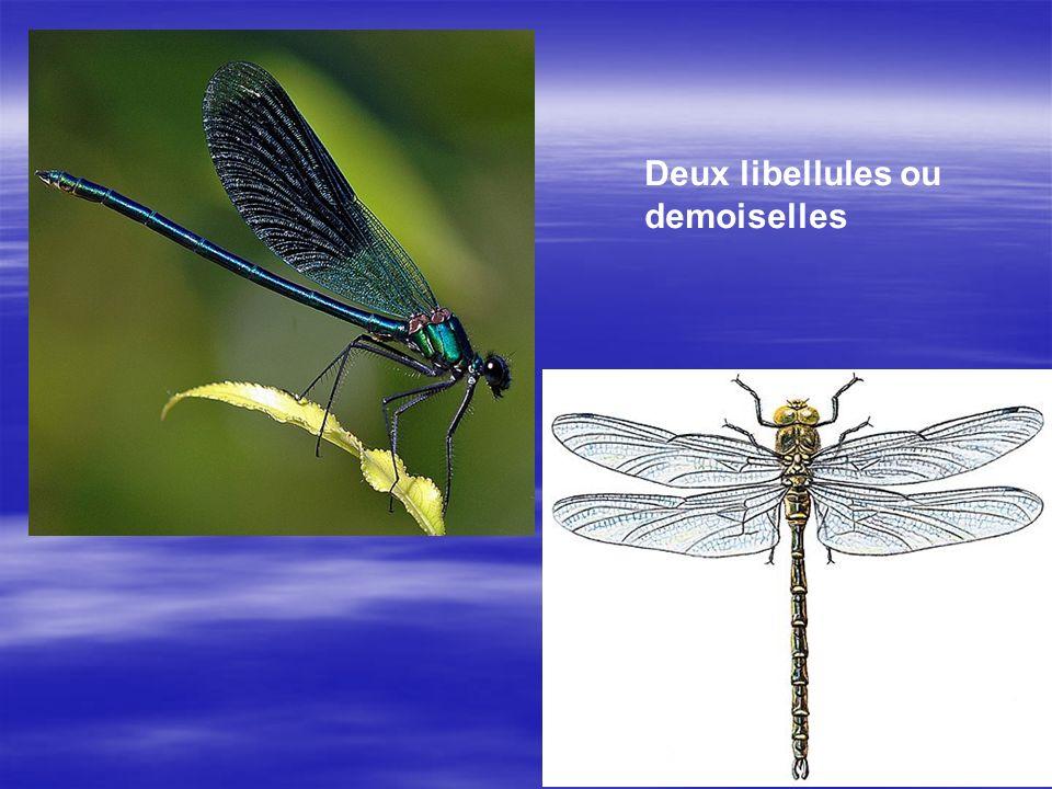 Deux libellules ou demoiselles