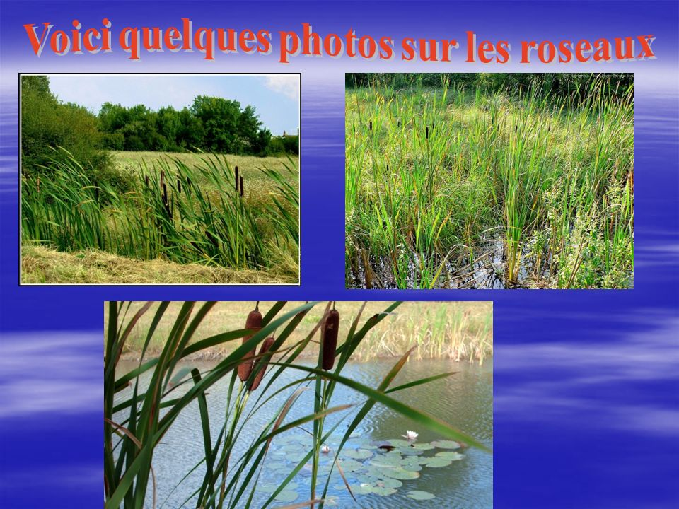 Voici quelques photos sur les roseaux