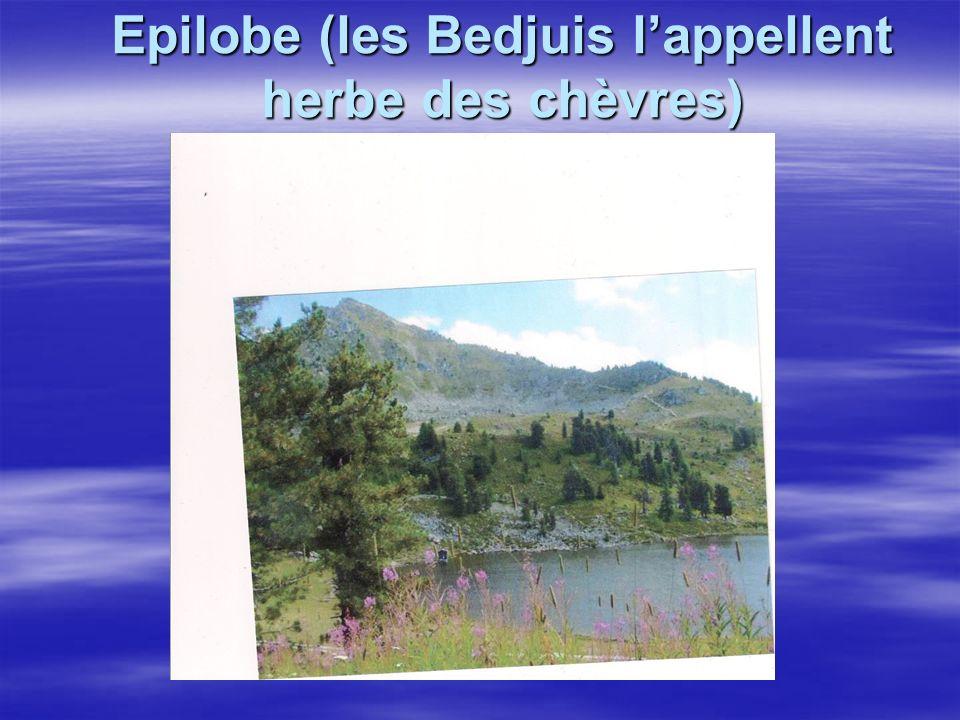 Epilobe (les Bedjuis l'appellent herbe des chèvres)