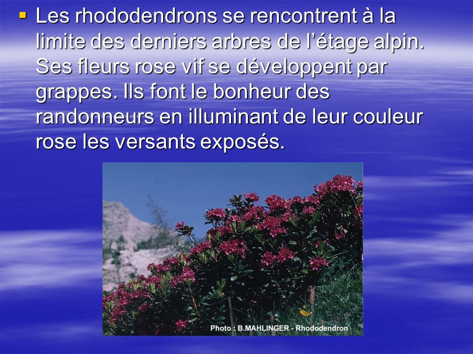 Les rhododendrons se rencontrent à la limite des derniers arbres de l'étage alpin.