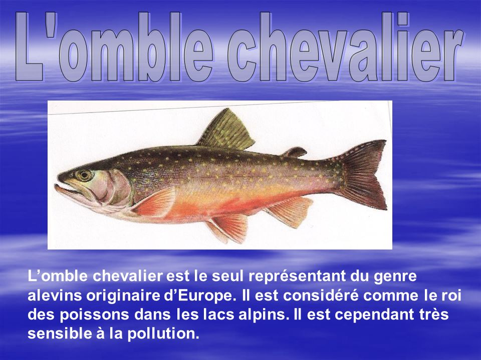 L omble chevalier