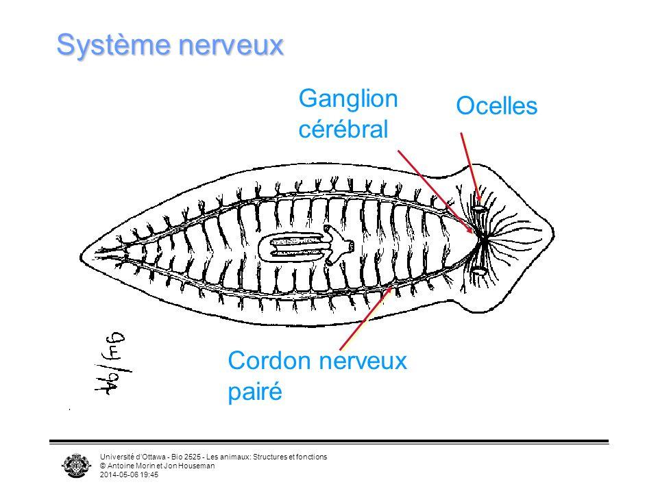 Système nerveux Ganglion Ocelles cérébral Cordon nerveux pairé