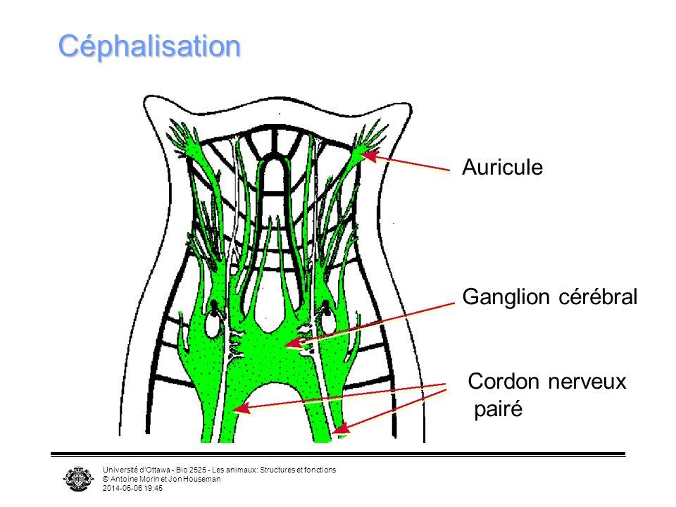 Céphalisation Auricule Ganglion cérébral Cordon nerveux pairé