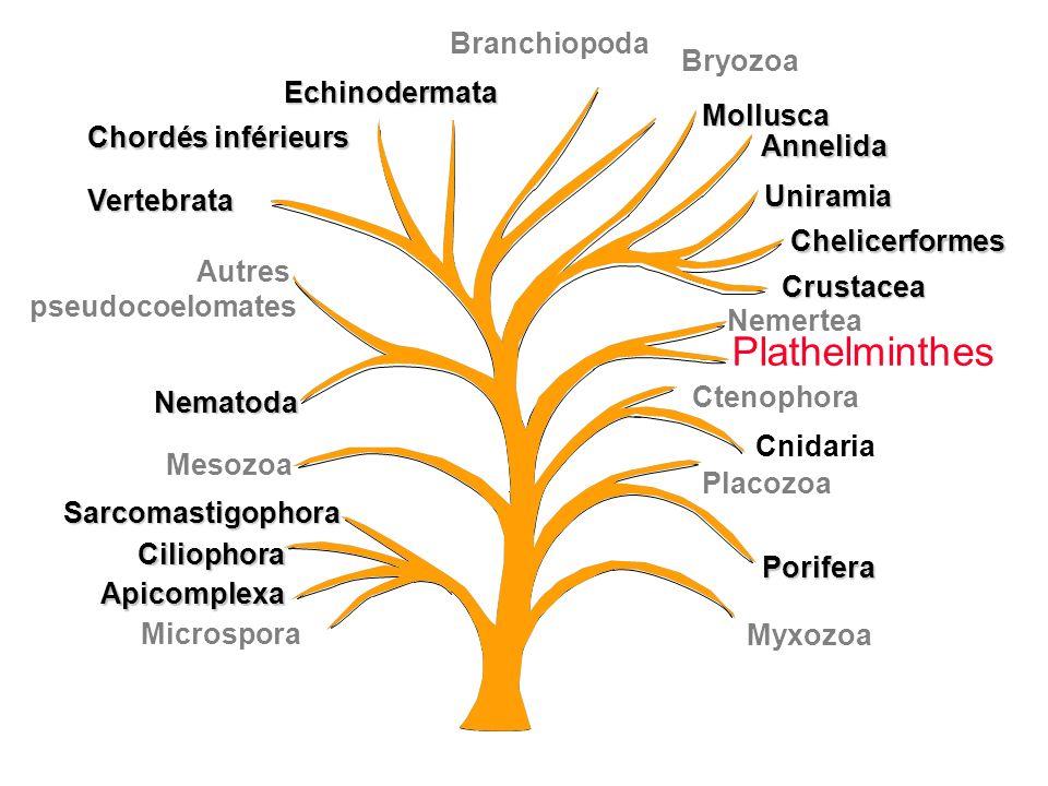 Plathelminthes Branchiopoda Bryozoa Echinodermata Mollusca