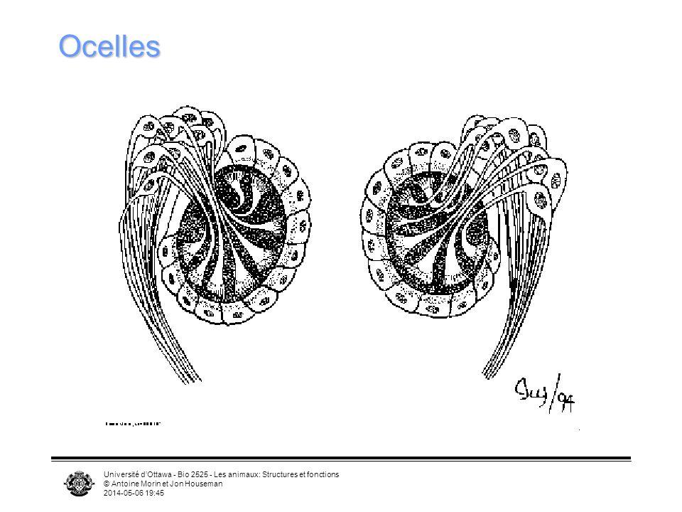 Ocelles Université d'Ottawa - Bio 2525 - Les animaux: Structures et fonctions. © Antoine Morin et Jon Houseman.