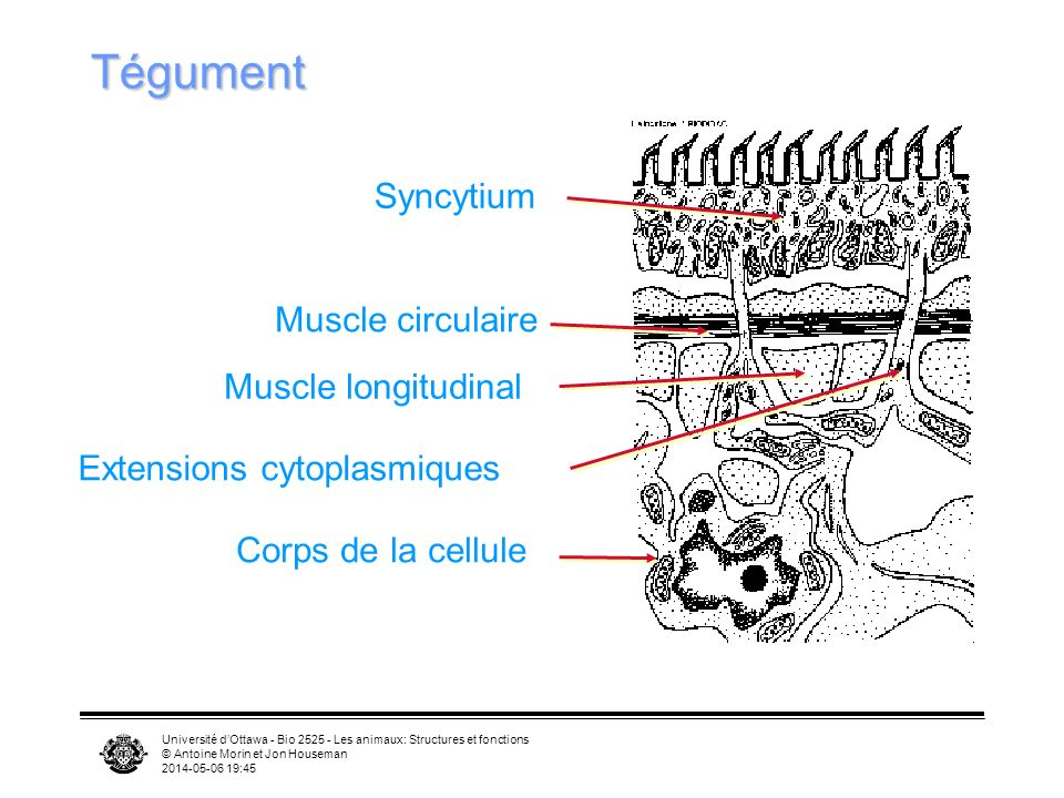 Tégument Syncytium Muscle circulaire Muscle longitudinal