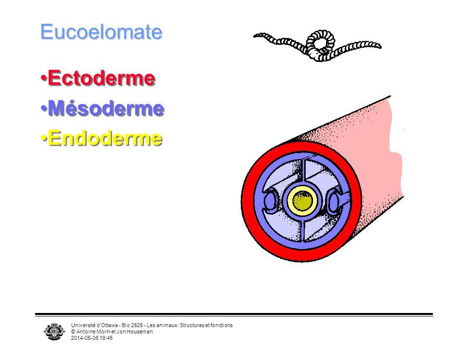 Eucoelomate Ectoderme Mésoderme Endoderme