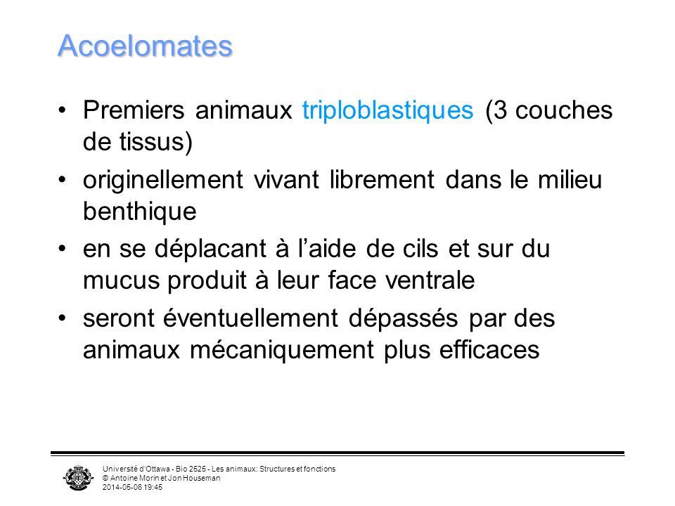 Acoelomates Premiers animaux triploblastiques (3 couches de tissus)