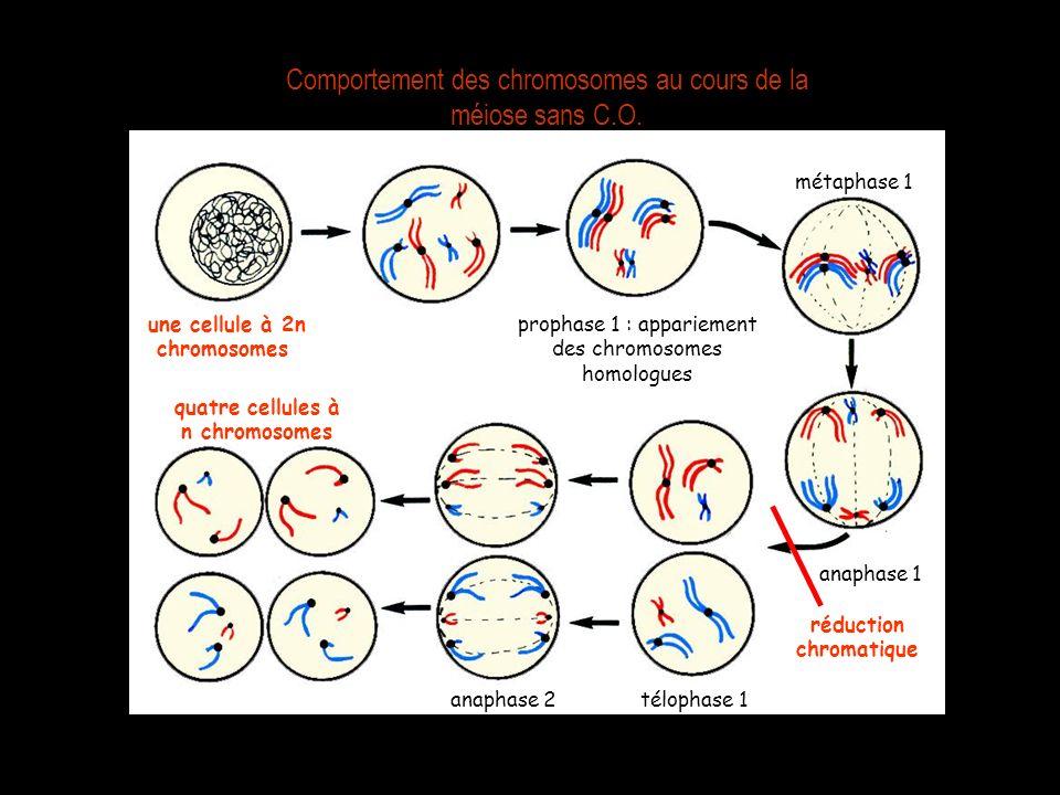 Comportement des chromosomes au cours de la méiose sans C.O.