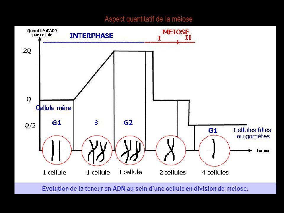 Aspect quantitatif de la méiose