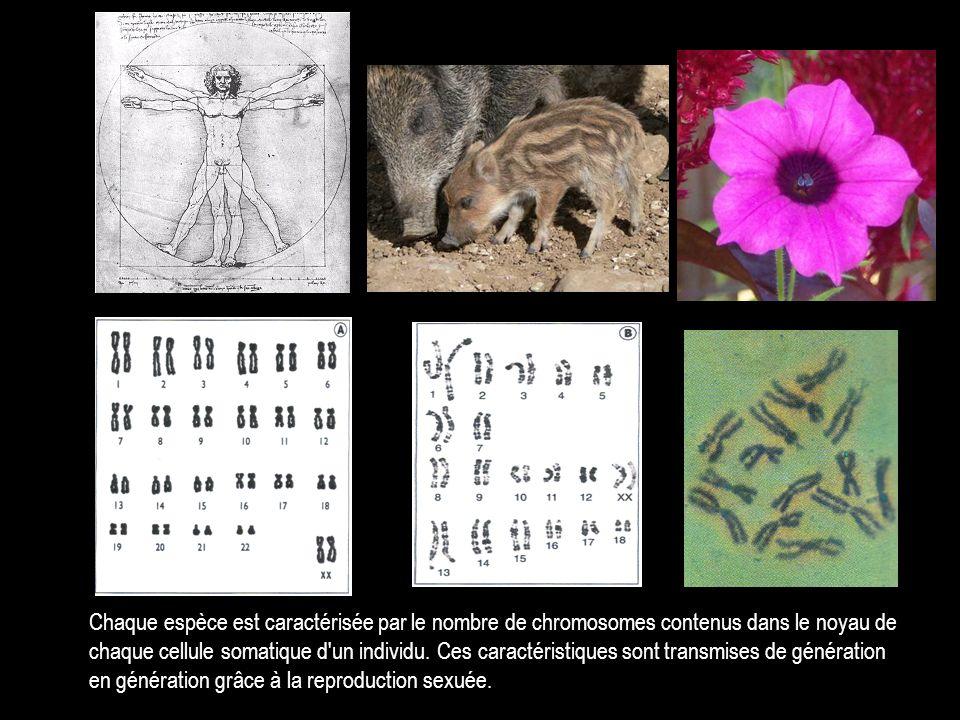 Chaque espèce est caractérisée par le nombre de chromosomes contenus dans le noyau de chaque cellule somatique d un individu.