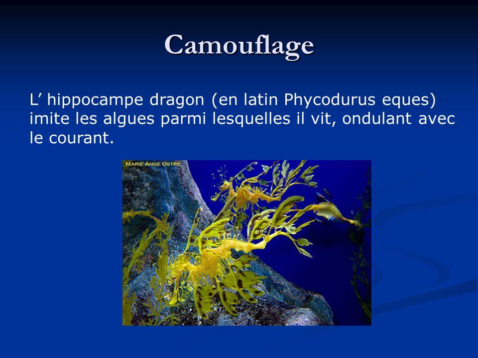Camouflage L' hippocampe dragon (en latin Phycodurus eques) imite les algues parmi lesquelles il vit, ondulant avec le courant.