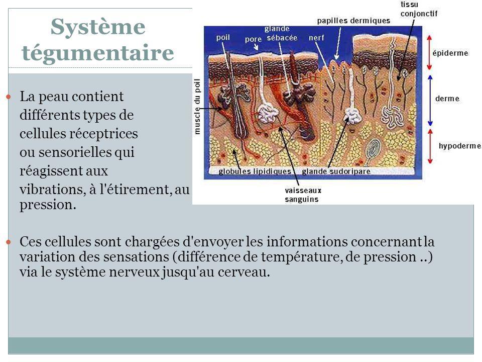 Système tégumentaire La peau contient différents types de