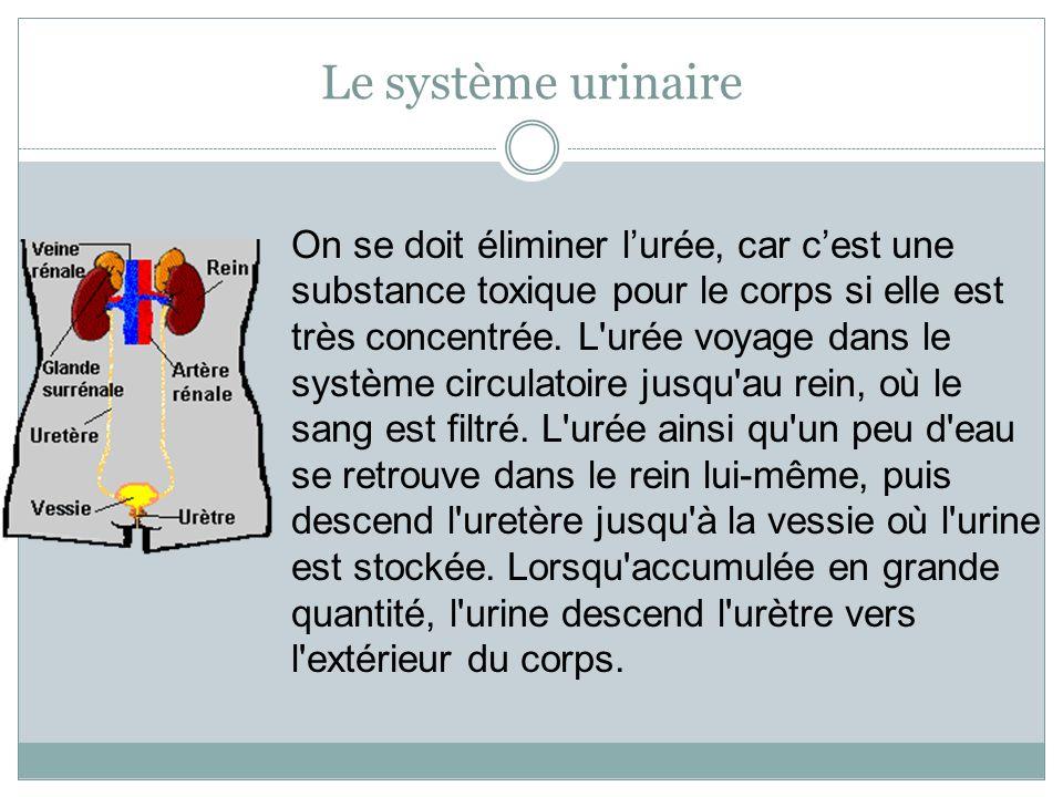 Le système urinaire