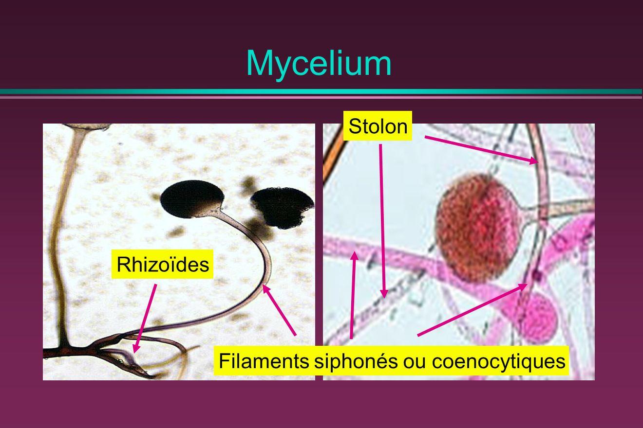 Mycelium Stolon Rhizoïdes Filaments siphonés ou coenocytiques