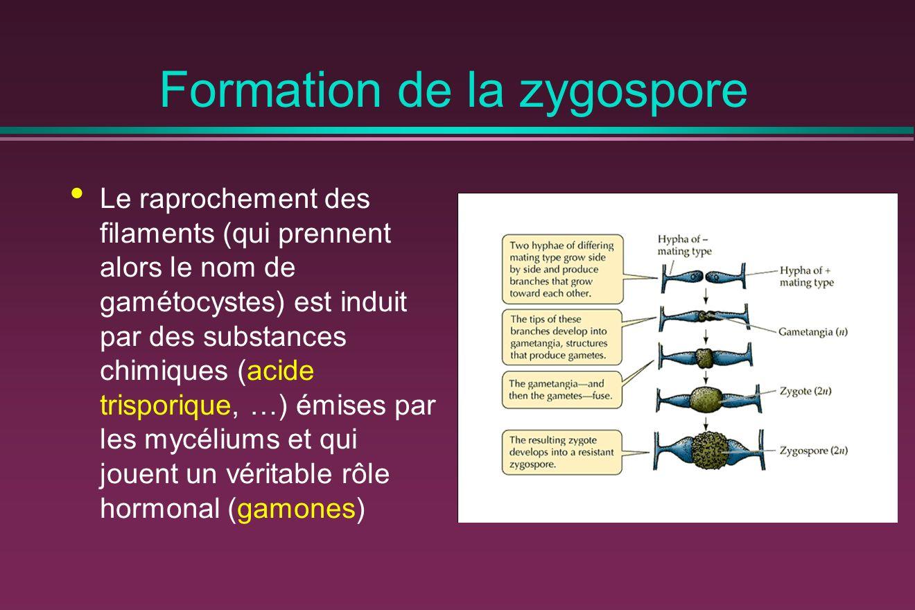 Formation de la zygospore