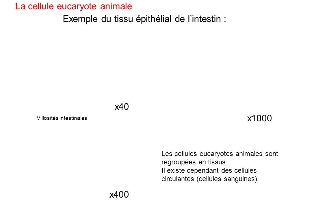 Exemple du tissu épithélial de l'intestin :