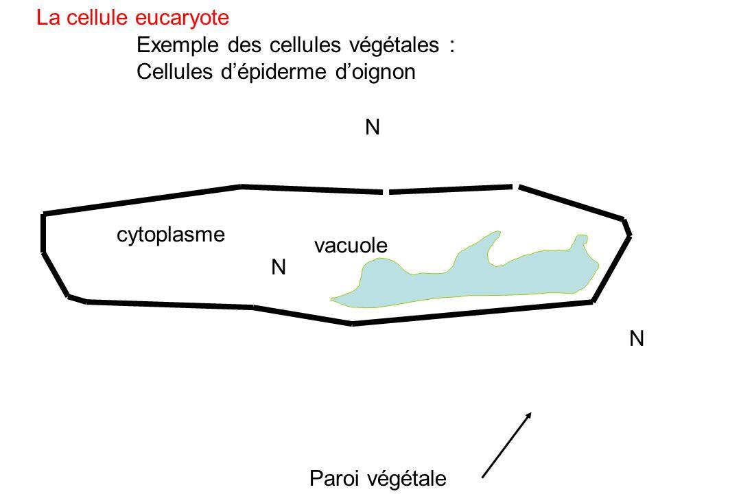 La cellule eucaryote Exemple des cellules végétales : Cellules d'épiderme d'oignon. N. cytoplasme.
