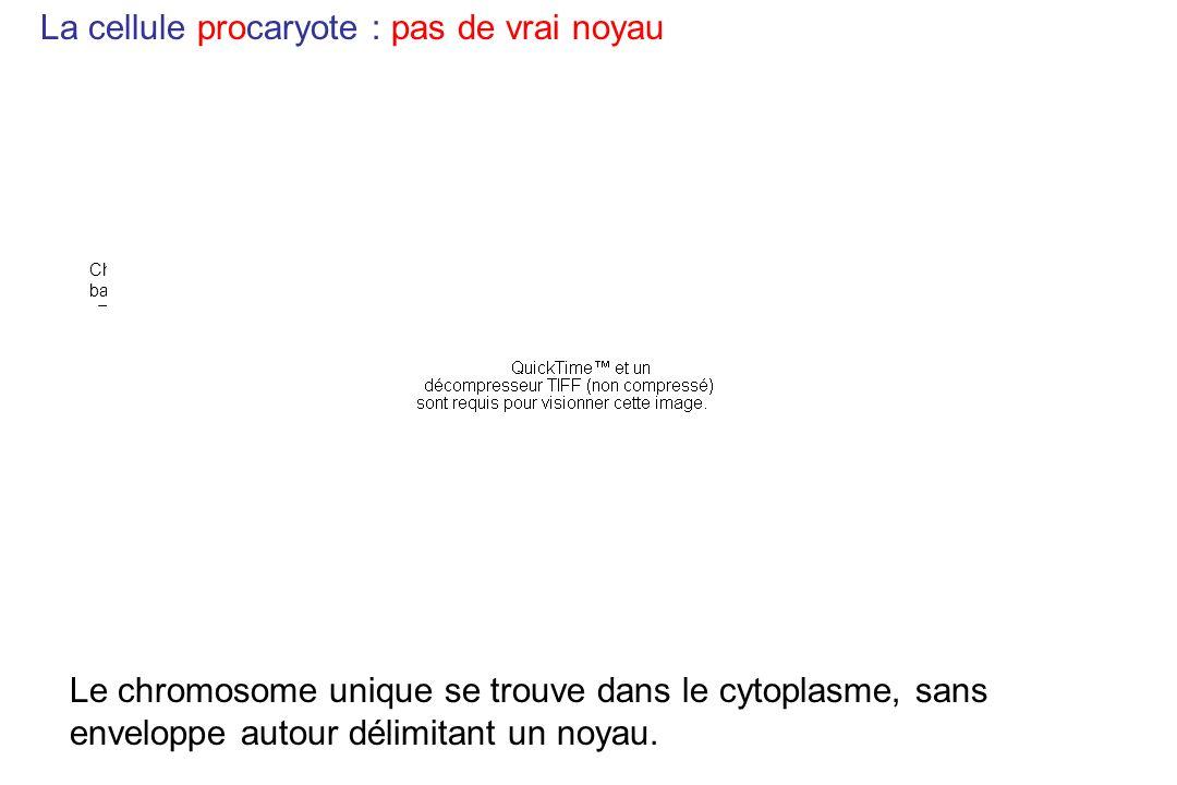 La cellule procaryote : pas de vrai noyau