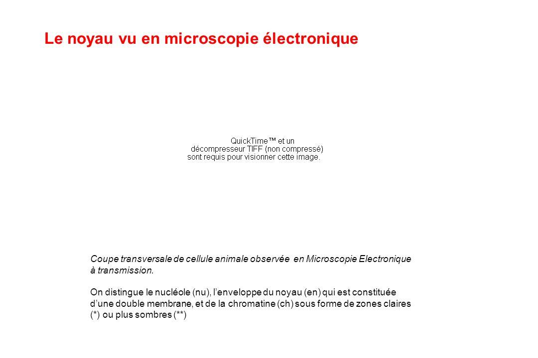 Le noyau vu en microscopie électronique