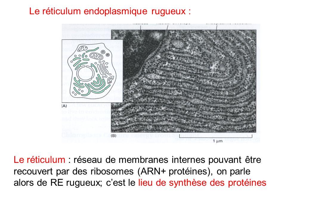 Le réticulum endoplasmique rugueux :